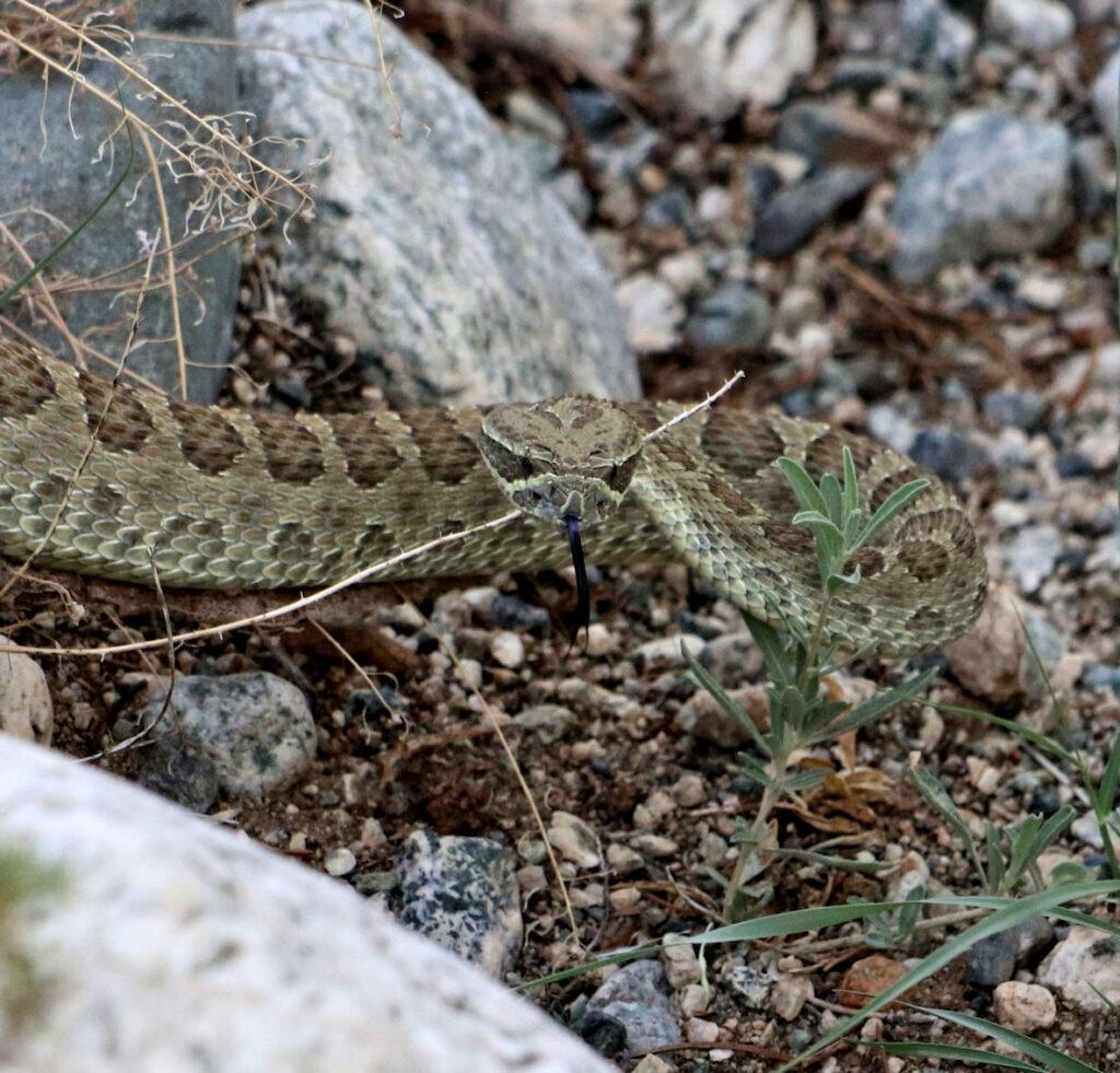 Blanca Peak rattlesnake maybe 078a