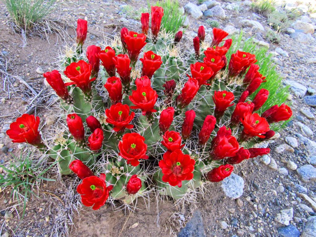 Blanca Peak red cactus flowers 031a